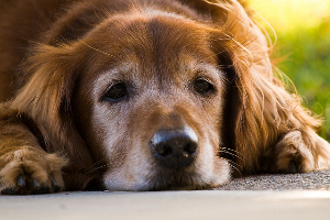 Arthritis in our Pets
